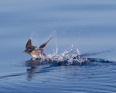 Rhinoserous Auklet   Orange County Waters  2014 01 11-1666.CR2