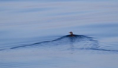 Rhinoserous Auklet   Orange County Waters  2014 01 11-1665.CR2