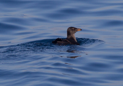 Rhinoserous Auklet  Orange County Waters  2014 01 11-1724.CR2