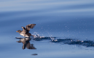 Rhinoserous Auklet   Orange County Waters  2014 01 11-1673.CR2