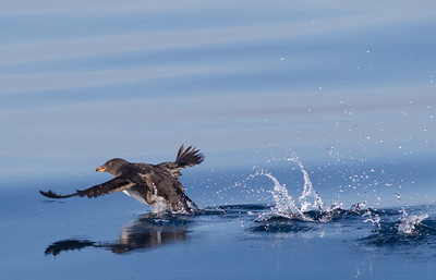 Rhinoserous Auklet   Orange County Waters  2014 01 11-1675.CR2