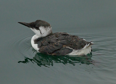 Common Murre  Monterey 2011 09 22-1.CR2