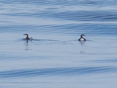 Craveri`s Murrelet Orange County waters 2012 09 22 (6 of 13).CR2