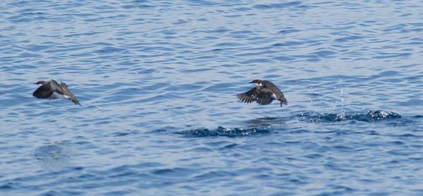 Craveri`s Murrelet Orange County waters 2012 09 22 (9 of 13).CR2