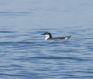 Craveri`s Murrelet Orange County waters 2012 09 22 (4 of 13).CR2