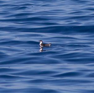 Craveri`s Murrelet  San Diego Waters  2014 10 09 (201411 of 2).CR2