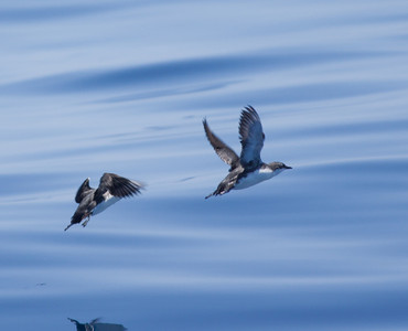 Scripp`s Murrelet  San Diego waters 2010 05 07-3.CR2