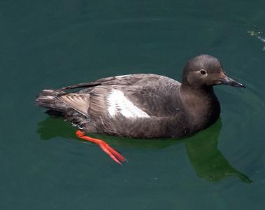 Pigeon Guillemot Gig Harbor 2021 08 o8-7.CR3