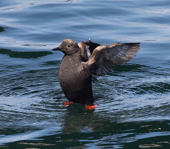 Pigeon Guillemot Gig Harbor 2021 08 o8-4.CR3