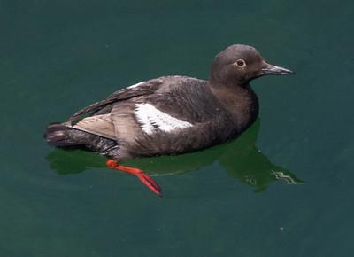 Pigeon Guillemot Gig Harbor 2021 08 o8-8.CR3