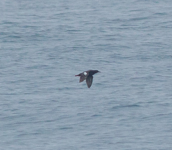 Pigeon Guillemot  Orange County waters 2012 07 21 (1 of 2).CR2 (1 of 2).CR2