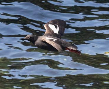 Pigeon Guillemot Gig Harbor 2021 08 o8-2-2.CR3