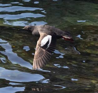 Pigeon Guillemot Gig Harbor 2021 08 o8-1.CR3
