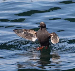 Pigeon Guillemot Gig Harbor 2021 08 o8-3.CR3