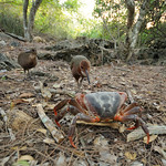 Rail family killing a land crab, Aldabra
