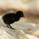 Rail chick, Aldabra