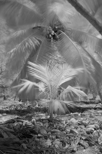 Coconut palms, Aldabra