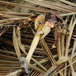 Robber crab with hammer, Aldabra