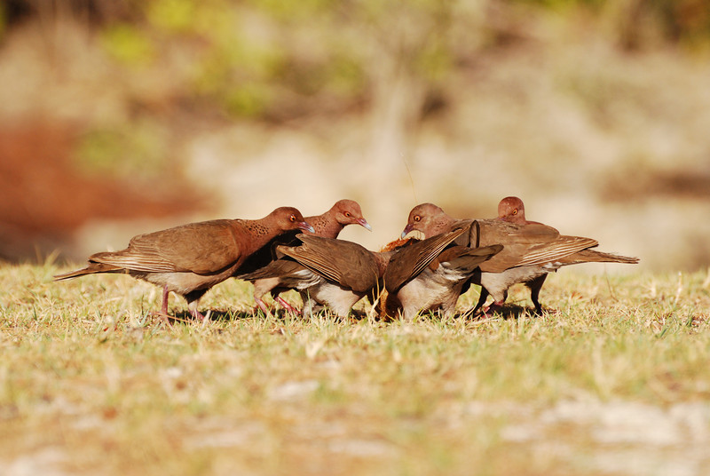 Turtle doves feeding, Aldabra