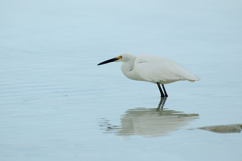 Egret fishing, Aldabra