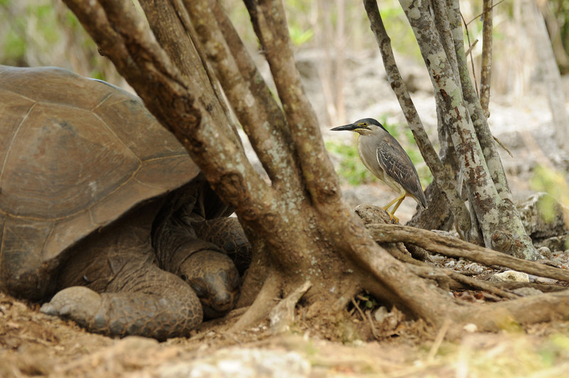 Green-backed heron and tortoise, Aldabra