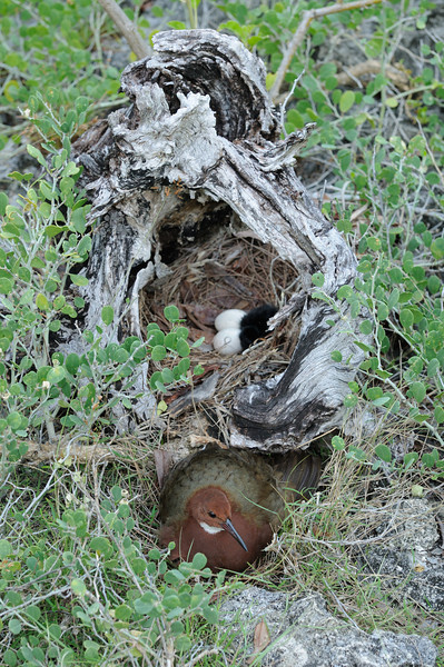 Rail next to its nest, Aldabra