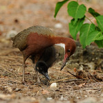 Rail with chick killing hermit crab, Aldabra