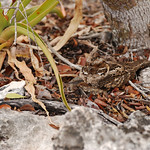 Nightjar on nest, Aldabra