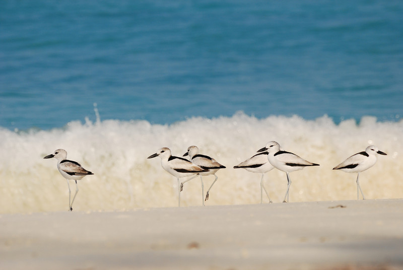 Crab plovers and waves, Aldabra