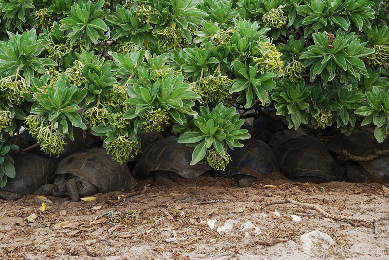 Tortoise hiding in shade, Aldabra
