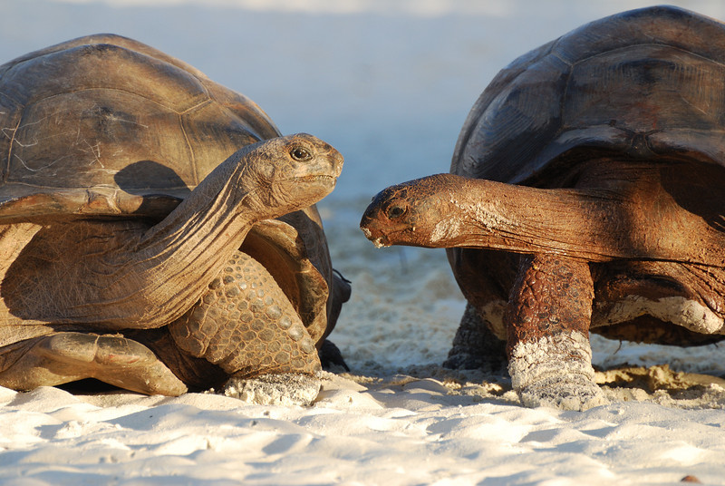 Two tortoises, Aldabra