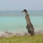 Green-backed heron, Aldabra