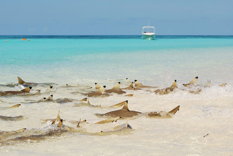 Black tip sharks, Aldabra