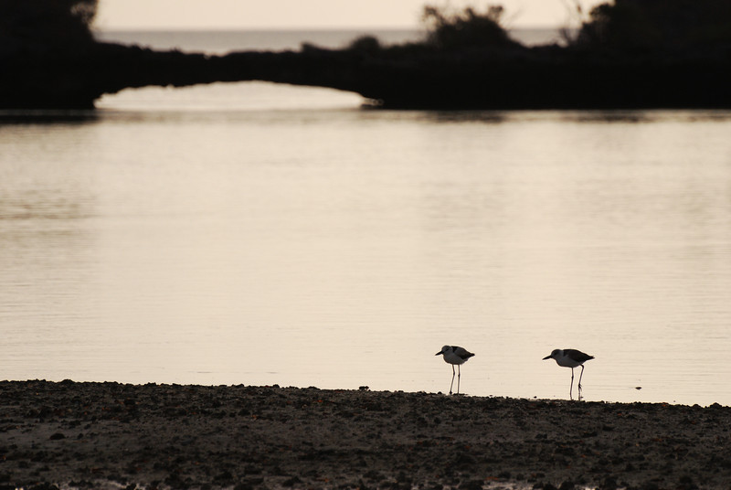 Crab plovers in evening, Aldabra