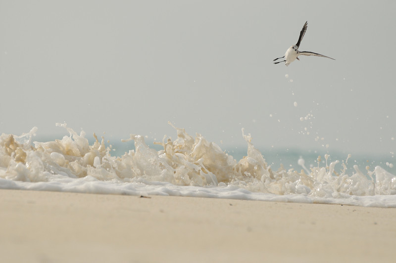Sanderling and wave, Aldabra