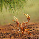 Land crab foraging, Aldabra