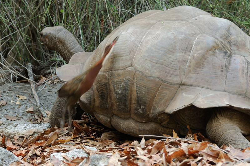 Feeding rail and tortoise; Aldabra