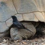Drongo and tortoise, Aldabra