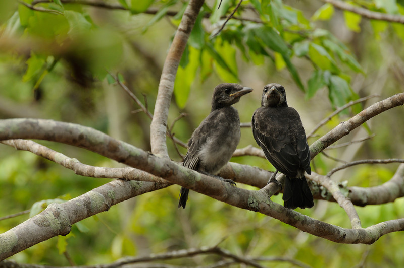 Drongo fledglings, Aldabra