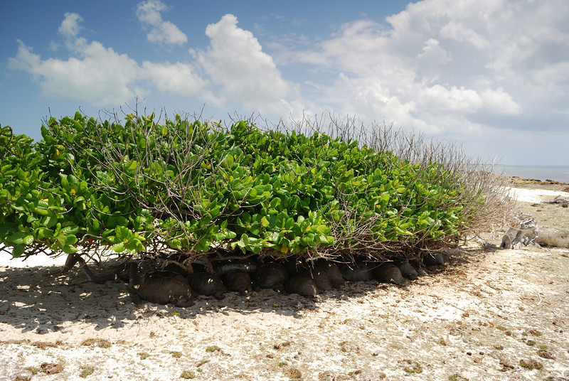 Tortoises hiding in shade, Aldabra