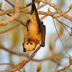 Fruit bat, Aldabra