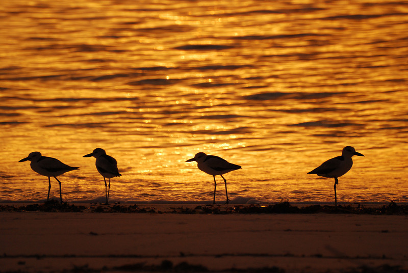 Crab plovers at sunset, Aldabra