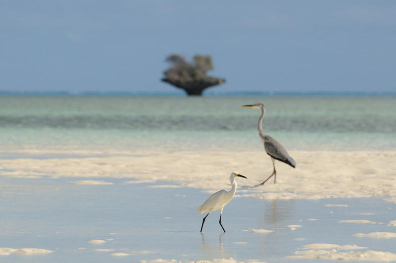 Heron and egret, Aldabra