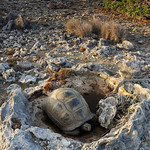 Tortoise in rock hole, Aldabra