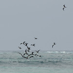 Frigatebirds attacking a booby, Aldabra