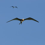 Two frigatebirds, Aldabra