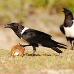 Crows with coconut, Aldabra