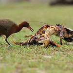 Rail and robber crab, Aldabra