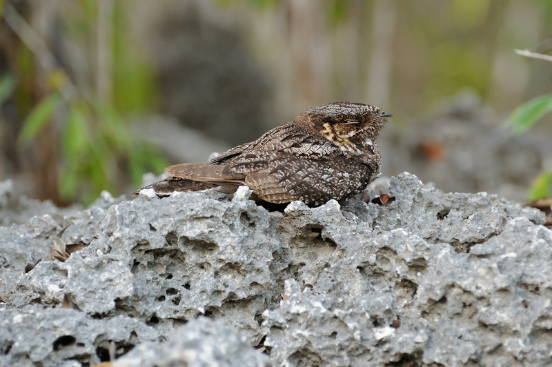Nightjar on champignon, Aldabra