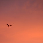 Frigatebird and evening sky, Aldabra